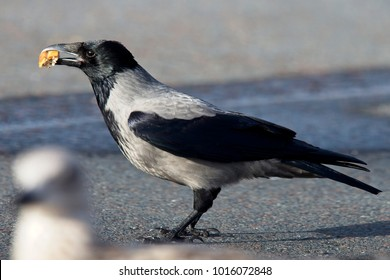 Hooded Crow (Corvus cornix), with a crust of bread, Mainland, Shetland, Scotland, UK.