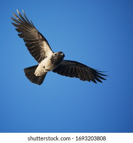 Hooded Crow (Corvus cornix) in flight.  A common bird in Ireland, known locally as the Grey Crow.