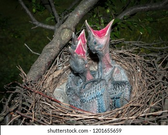 The hooded crow (Corvus cornix) or hoodie nest with hungry and crying nestlings in breeding season.
