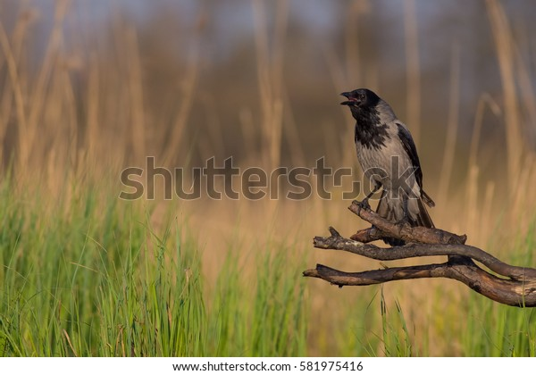 Hooded Crow - Corvus cornix - looking for food at a wetland - Vilnius County, Lithuania
