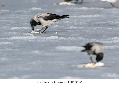 Hooded Crow (Corvus cornix) in nature.