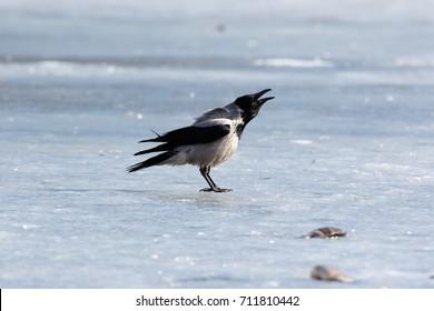Hooded Crow (Corvus cornix) in nature.