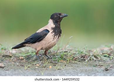 Hooded crow (Corvus cornix). Photo was taken in Ukraine