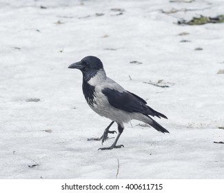 Hooded Crow , Corvus cornix, portrait on snow early spring closeup, selective focus, shallow DOF