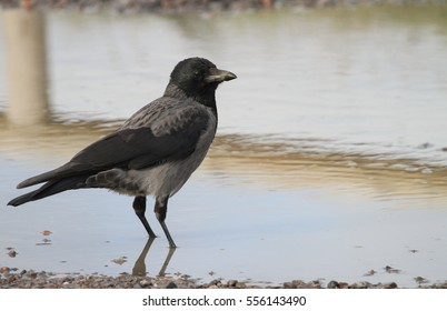 A Hooded Crow (Corvus cornix) standing in a puddle.