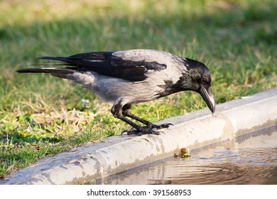 Hooded crow going for a drink from a puddle of water on a walking path