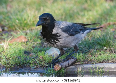Hooded crow holding onto small stick