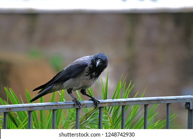 hooded crow Latin corvus cornix in the family corvidae perched perched on a railing in the centre of Rome near the Colosseum looking inquisitively at the camera very intelligent birds