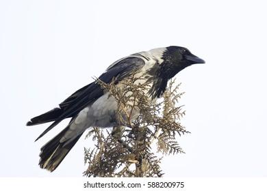 Hooded crow in natural habitat / Corvus corone cornix