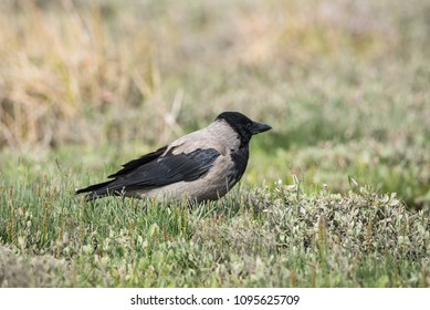 Hooded crow on the grass