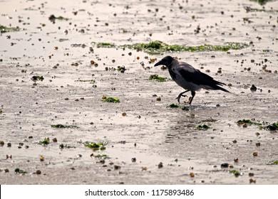 Hooded crow on the salt marsh of the Wadden Sea on Schiermonnikoog, the Netherlands