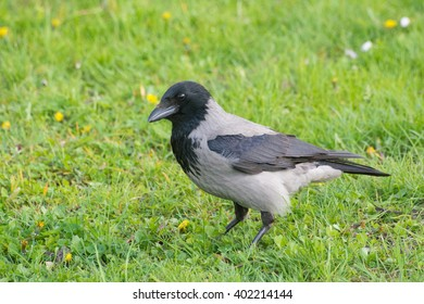 Hooded crow standing on field #1