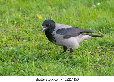 Hooded crow standing on field #2