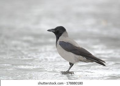 Hooded crow standing  on ice - bonte kraai - corvus cornix