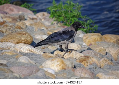 Hooded crow walking on the rocky shore near Moscow river (Russia, Moscow)