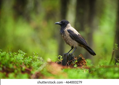 Hooded Crow,Corvus corone cornix in green forest,  perched on old stump against spruce trunks in background. Ground level photography. Scandinavian taiga, Finland.