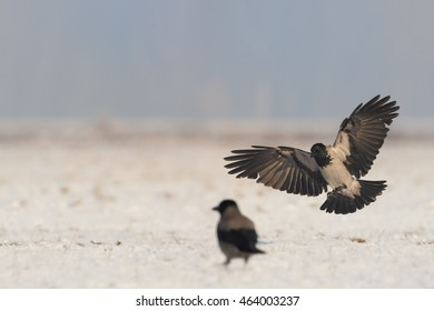 Hooded Crow,Corvus corone cornix landing on stubble covered in snow with outstretched wings in winter day.