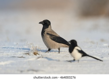 Hooded Crow,Corvus corone cornix with Pica pica, Eurasian magpie on snow in freeze day. Winter, Czech republic.