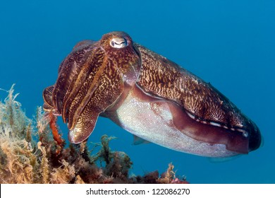 Hooded Cuttlefish swims next to some marine plants