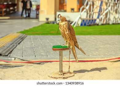 Hooded falcon at Falcon Souq near Souq Waqif in Doha city center. The hawk hunt in Qatar is a tradition and a very popular sport. Middle East, Arabian Peninsula.