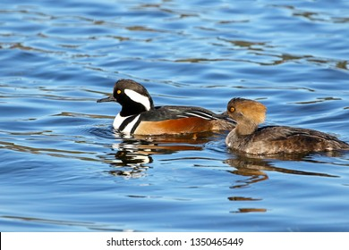 Hooded Merganser Pair swimming in Blue Water.  Male of Left, Female on Right. Canada