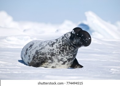 Hooded seal (Cystophora cristata) male inflating nasal sac