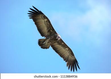 Hooded Vulture (Necrosyrtes monachus)  in flight