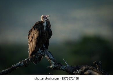 Hooded vulture squawks perched on dead tree