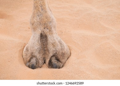 Hoof of camel in sand of Sahara desert