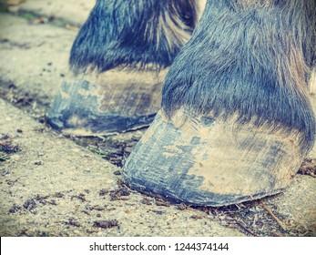 Hoofs after blacksmith care.  Detail of unshod horse hoof. Horse hoof without horseshoe close up
