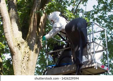 Hoogeveen, the Netherlands - June 17, 2019: control of oak processionary caterpillar on the Ericalaan, Hoogeveen