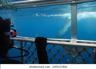 hookah diver in the surface cage observing a great white shark, Carcharodon carcharias, Neptune Islands, South Australia, Indian Ocean