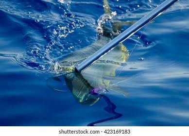 Hooked Mahi Mahi fish