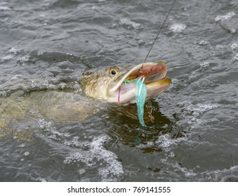 Hooked northern pike caught by a flyfisherman with a colorful pike fishing fly on its mouth October cloudy day at the Baltic Sea in archipelago of Southern Finland.