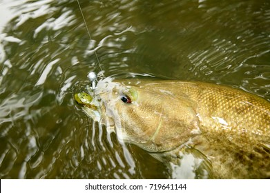 Hooked smallmouth bass being reeled in swimming underwater close to the surface in the Eleven Point River, Missouri