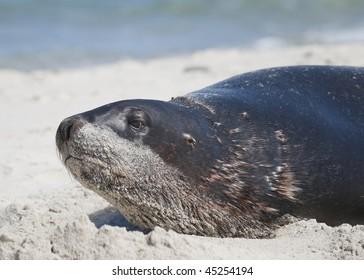 Hooker's Sea Lion on St Kilda Beach, New Zealand
