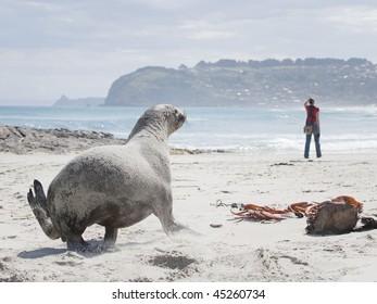 Hooker's Sea Lion running on St Kilda Beach, New Zealand