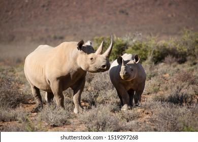 hook-lipped  or black rhinoceros, Diceros bicornis, walking through the low scrubs in a valley of the Karoo desert