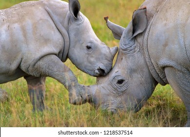 Hook-lipped Rhinoceros and baby. Diceros bicornis. Lake Nakuru National Park, Kenya.