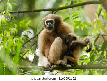 Hoolock Gibbon on tree - Assam