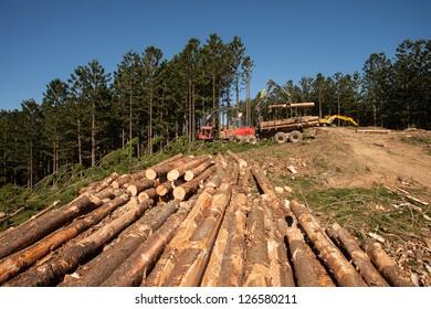 Hoop Pine plantations