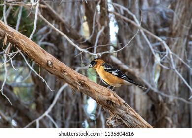 Hoopoe Bird at Blanding Utah