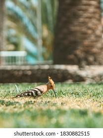A hoopoe bird looking for food