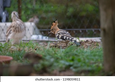 Hoopoe in front of a garden fence in the grass