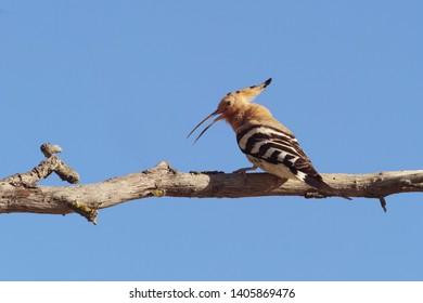 hoopoe inn on a branch