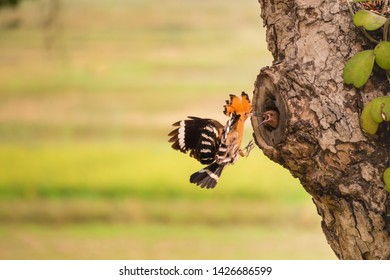 hoopoe loves his stepson unteil they grows and can fly out fo the nest. hoopoe.the hoopoe will find food to feed the children very often until the  parents are skinny.