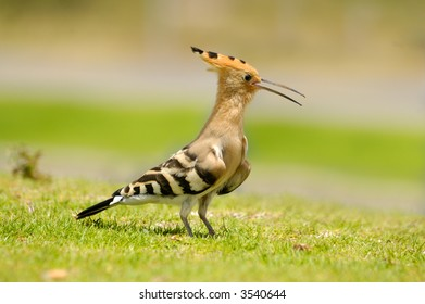 hoopoe on a grass