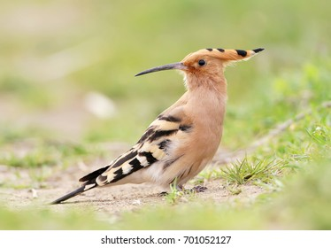 Hoopoe on the ground closeup view