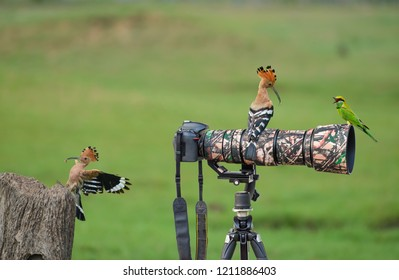 A Hoopoe on Stump but A Hoopoe and A Little Green Bee-eater are on the camera.