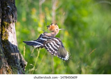 Hoopoe on the Tree with Feed
